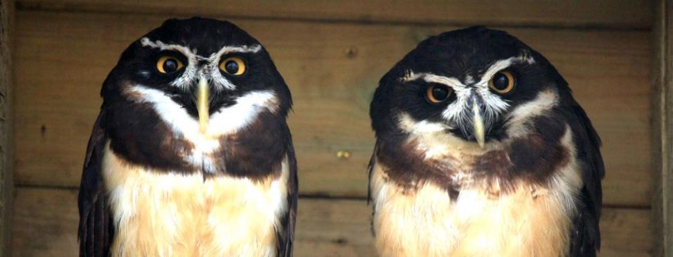 Owl Parliament 1
