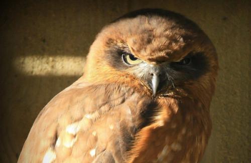 Owl Parliament 6